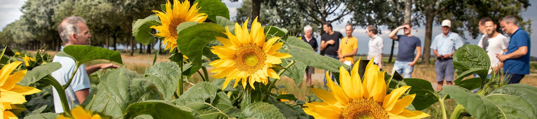 Overheersende zonnebloemen